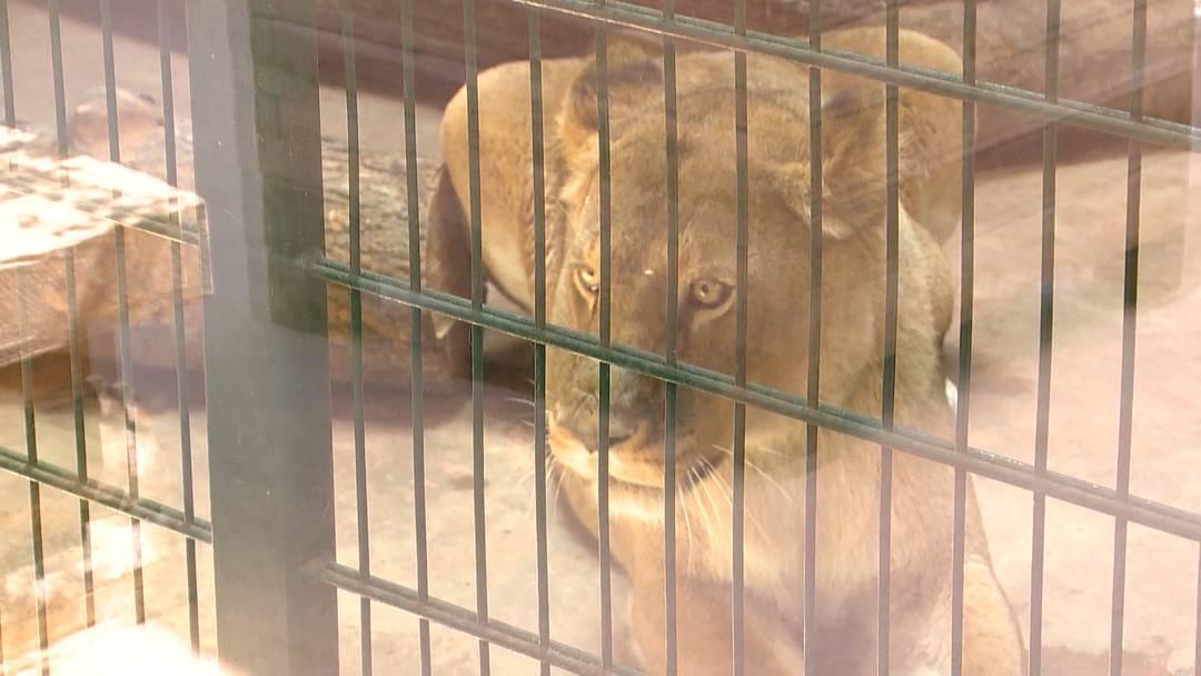 Raubtiere verbringen ihren Ruhestand im Sikypark