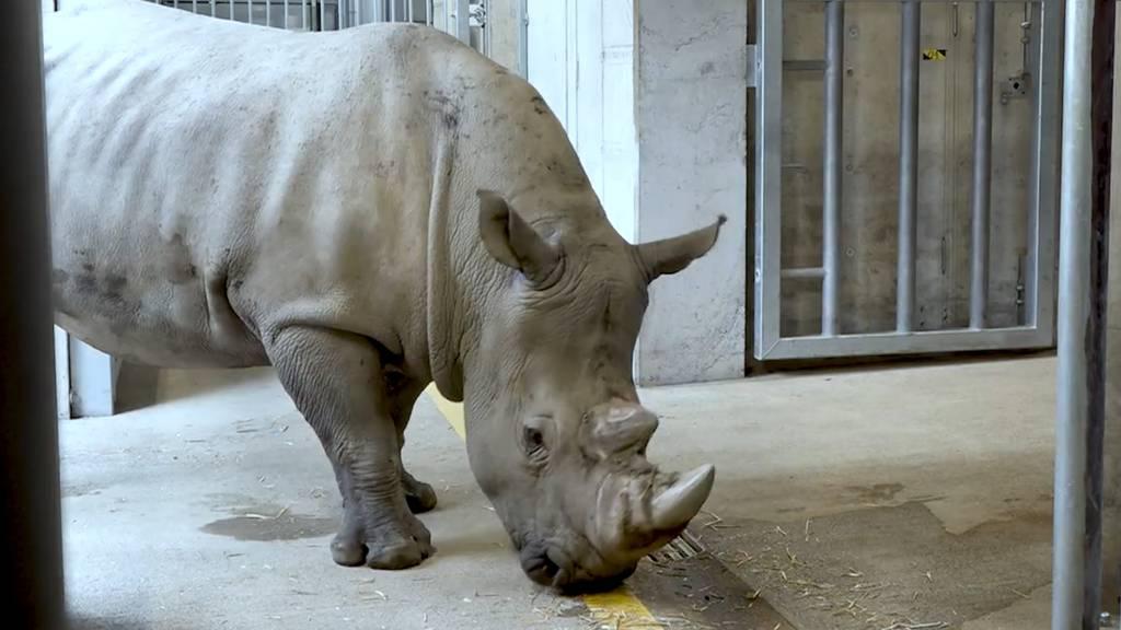 Nashornbulle Kimba soll in Zürich für Nachwuchs sorgen