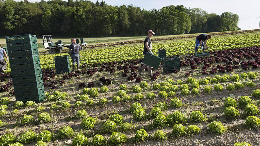280 Franken hat im letzten Jahr jeder Schweizer Konsument im Schnitt für Bioprodukte ausgegeben - im Bild biologisch angebauter Salat auf einem Feld im Seeland bei Kerzers. (Symbolbild)