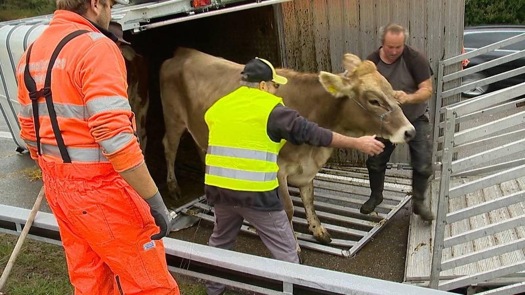 Hüttlingen (TG): Personen und Kühe bei Auffahrkollision verletzt