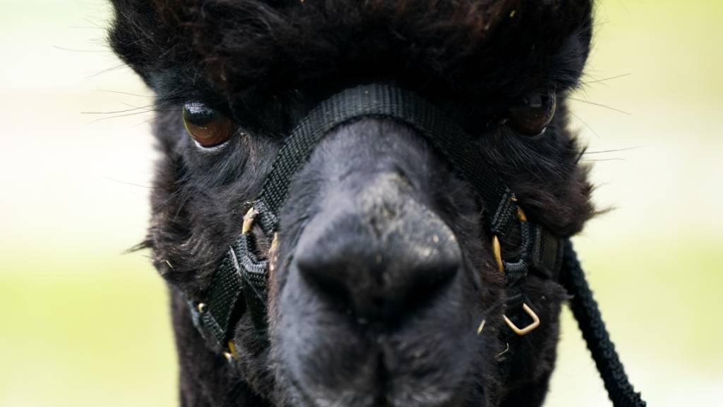 ARCHIV - Das Alpaka mit dem Namen «Geronimo» steht auf der Shepherds Close Farm. Das Tier wurde zweimal positiv auf Rindertuberkulose getestet und soll auf Anordnung des Ministeriums für Umwelt, Ernährung und ländliche Angelegenheiten getötet werden. Foto: Jacob King/PA Wire/dpa