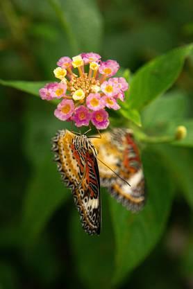 Das Gartencenter Hediger von Paul Hediger hat wieder Schmetterlinge im Treibhaus. Die Attraktion lockt zahlreiche Menschen ins Gewächshaus, welches speziell für Schmetterlinge eingerichtet wurde.