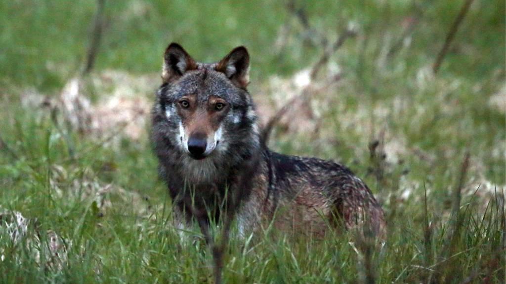 Was tun, wenn ein Wolf auftaucht?