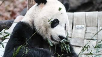 Bei Bei, Publikumsliebling im Zoo von Washington, ist vier Jahre nach seiner Geburt auf dem Weg in sein künftiges Heimatland China. Zur Stärkung vor der langen Reise gab es für den Pandabär eine Extraportion Bambusstängel und Kekse.