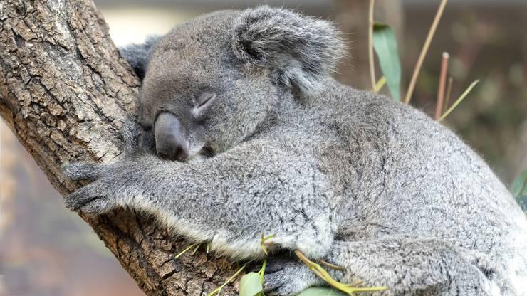 Koala-Weibchen Maisy.