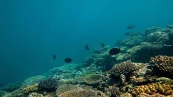 Bedrohtes Meeresschutz-Gebiet in Australien (Archiv)