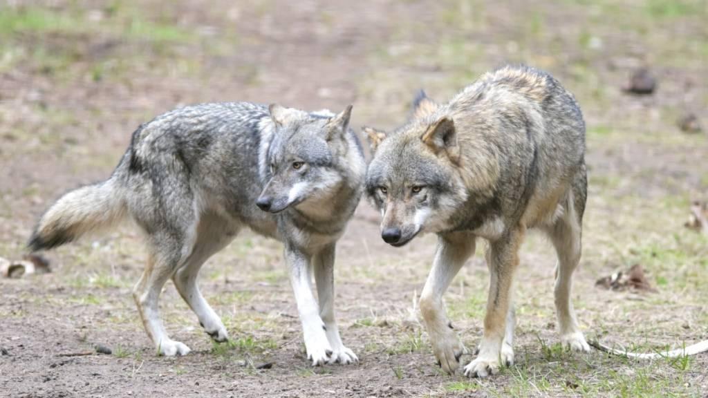 Bafu bewilligt Abschuss von vier Wölfen in der Waadt und im Wallis