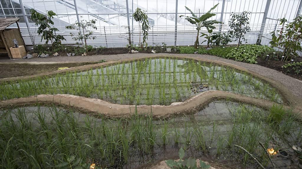 Tropenhaus Wolhusen probt auf Terrassen nachhaltigen Reisanbau