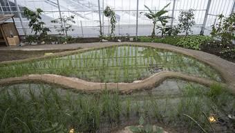 Das Tropenhaus Wolhusen baut in seiner neuen Ausstellung Reis an. Auf drei übereinanderliegenden Terrassen wird gezeigt, wie das wichtige Nahrungsmittel gedeiht. Angebaut wird mit einer Methode, die umweltfreundlicher sein soll als der weitverbreitete Nassreisanbau. Rund um die ersten Reisterassen der Schweiz wird den Besuchern auf Infotafeln alles über Anbau, Bedeutung und Verwendung des Getreides vermittelt. Besucher durften bei der Eröffnung auch selbst Hand anlegen. In zwei Monaten sollte der erste Schweizer Reis, der nördlich der Alpen wächst, geerntet werden können.