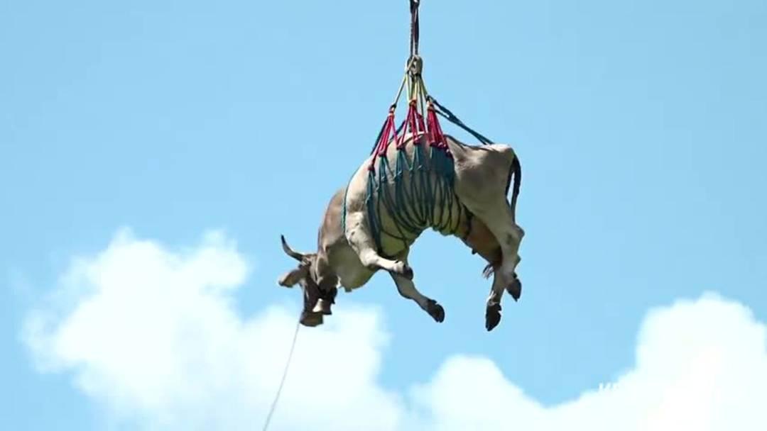 Bodenfahrt: Kühe werden mit Helikopter von Alp geflogen