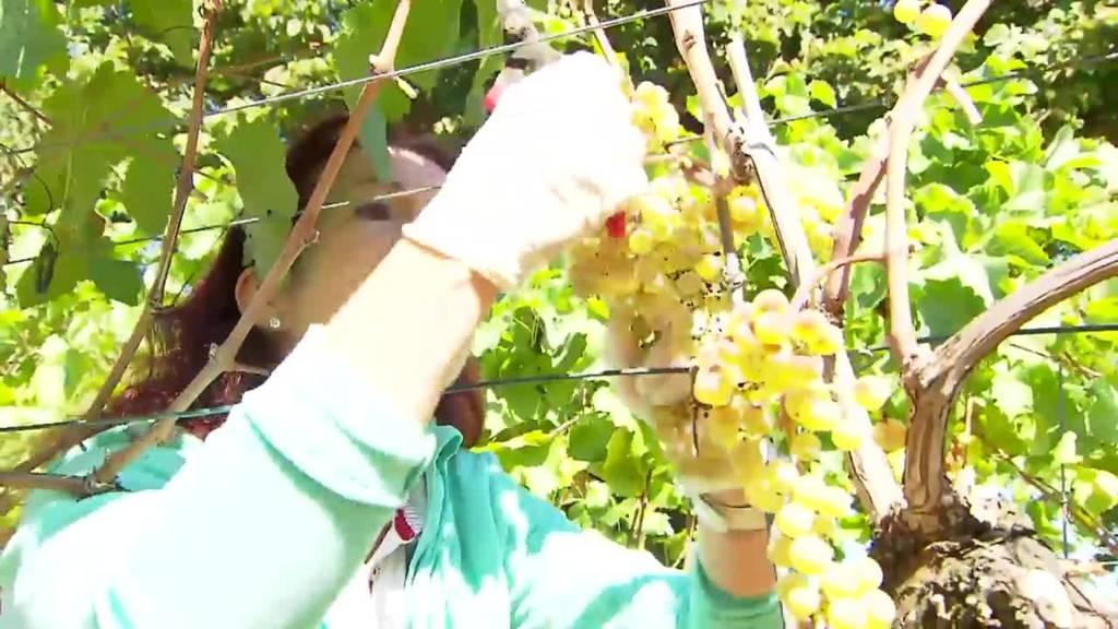 in der Weinsaison