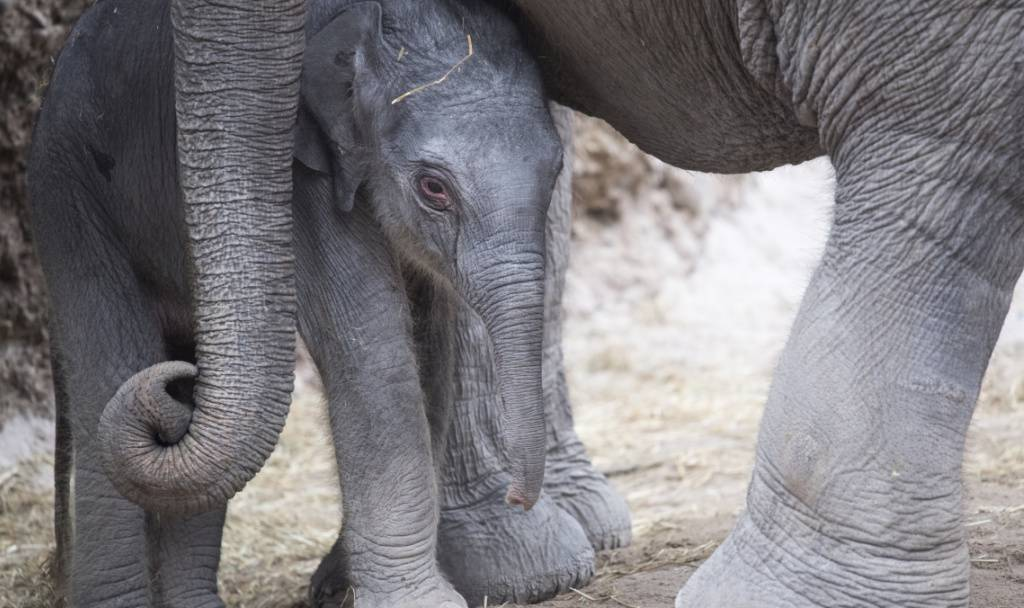 Zoo Zürich: Geburt im Kaeng Krachan Elefantenpark