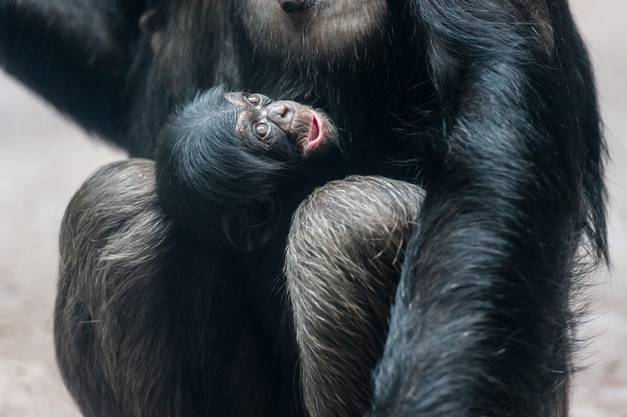 Schimpansin Fifi mit ihrem Jungtier Ozouri