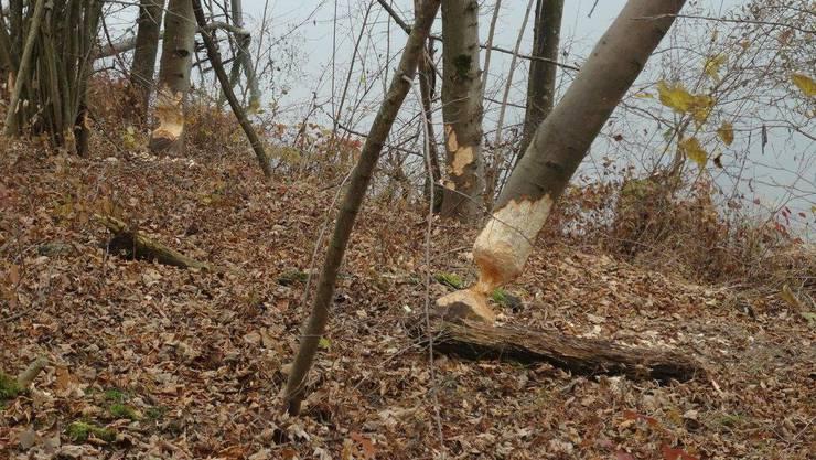 An der Aare zwischen Flumenthal und Wangen an der Aare sind etliche Bäume angenagt