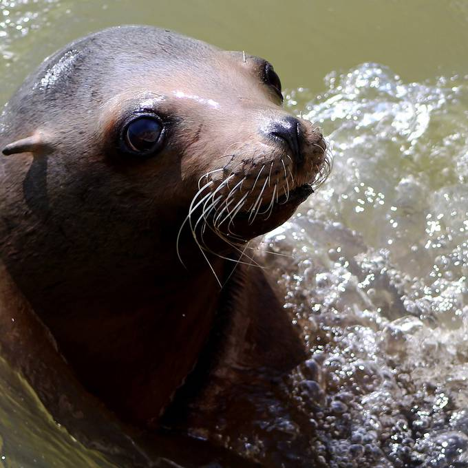 Was steckt hinter der Seelöwen-Fütterung?