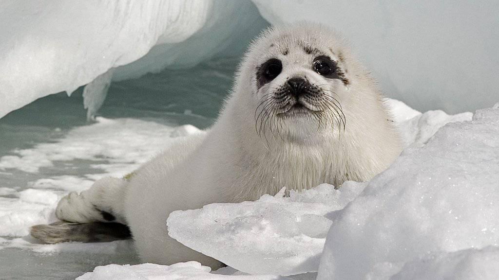 Besserer Schutz für diese junge Sattelrobbe vor Jägern: Die Schweiz schliesst sich den Ländern an, die die Einfuhr von Robbenprodukten verbieten. (Symbolbild)