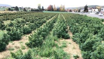 CBD-Hanfplantage in Biel-Benken