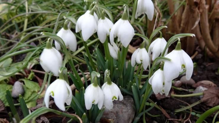In vielen Gärten blühen bereits die Schneeglöckchen - ein eindeutiges Zeichen für den beginnenden Frühling.