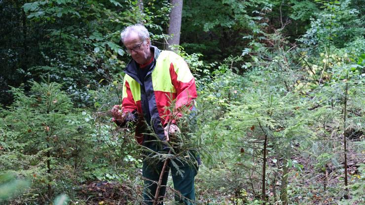 Bei den Jungtannen führte Förster Peter Rieser bereits vor einem Jahr eine Bekämpfungsaktion gegen die invasive Schlingpflanze Henrys Geissblatt durch.