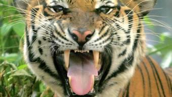 Tiger reagieren auf die Substanz ebenso wie auf Blut.