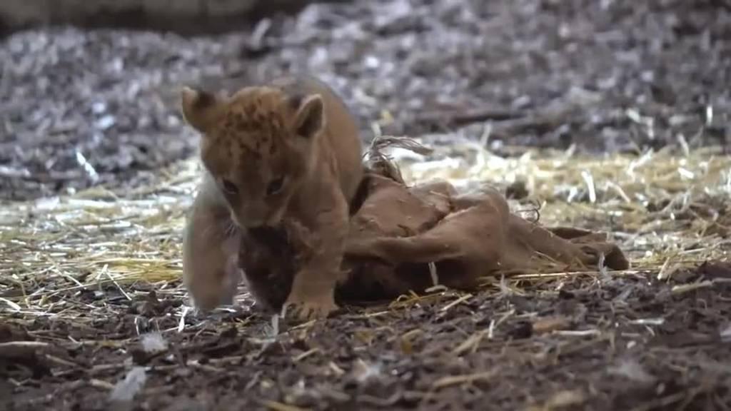 Bald kannst du die herzigen Löwenbabys sehen