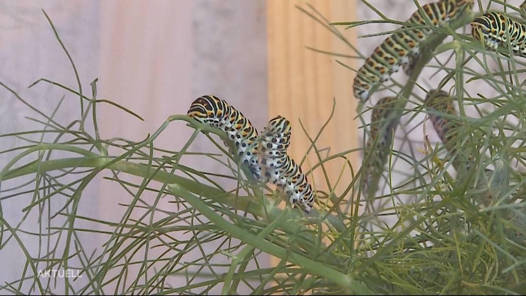 Schmetterlingszucht in Rupperswil: Auf Maya Wiedmers Balkon überwinterten 500 Raupen