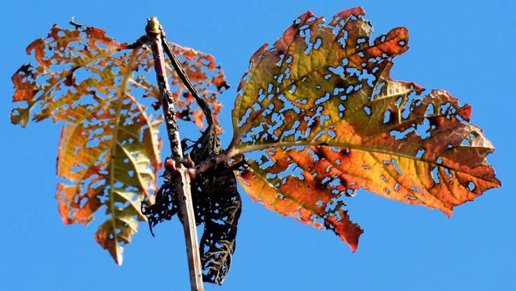 Der Herbst hinterlässt an den Blättern eines Schneeballs seine Spuren, in Winterberg. (KEYSTONE/Steffen Schmidt)