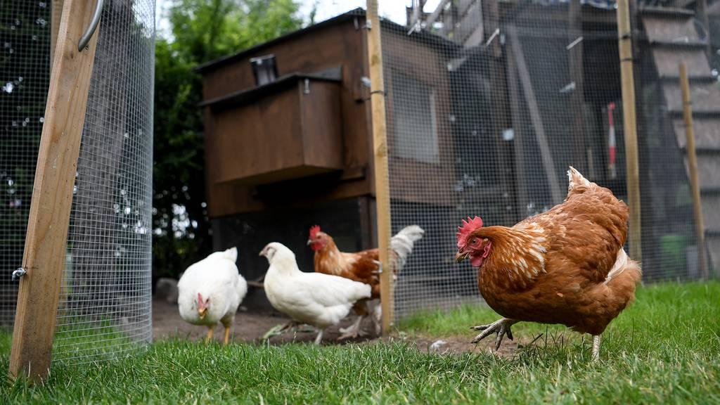 Hühnerhaltung boomt während Coronazeit