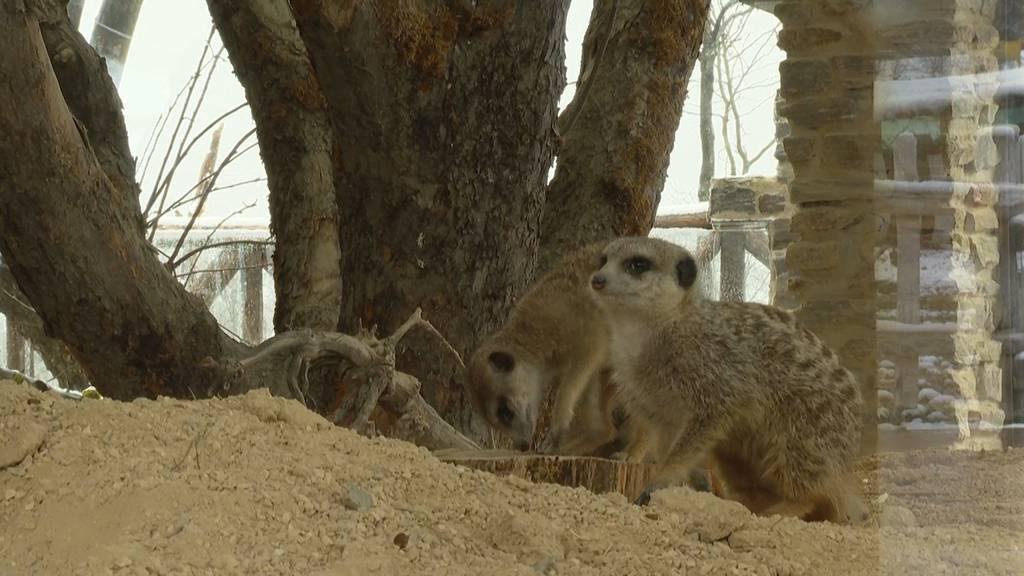 Zoo Zürich: Erdmännchen sind Meister der Kooperation
