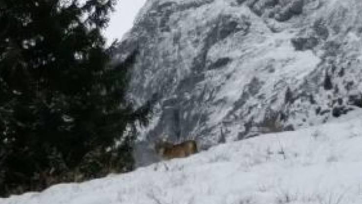 Fotografiert, aber nicht identifiziert: ein Wolf oberhalb Mollis im Glarnerland.