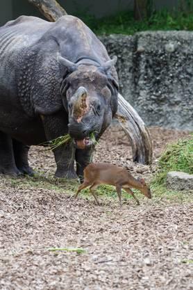 Die Muntjaks schätzen die Nähe der ruhigen Nashörner - und werden von diesen weitgehend ignoriert.