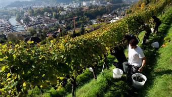 Blauburgunderernte in der Goldwand mit Blick auf die Stadt Baden.