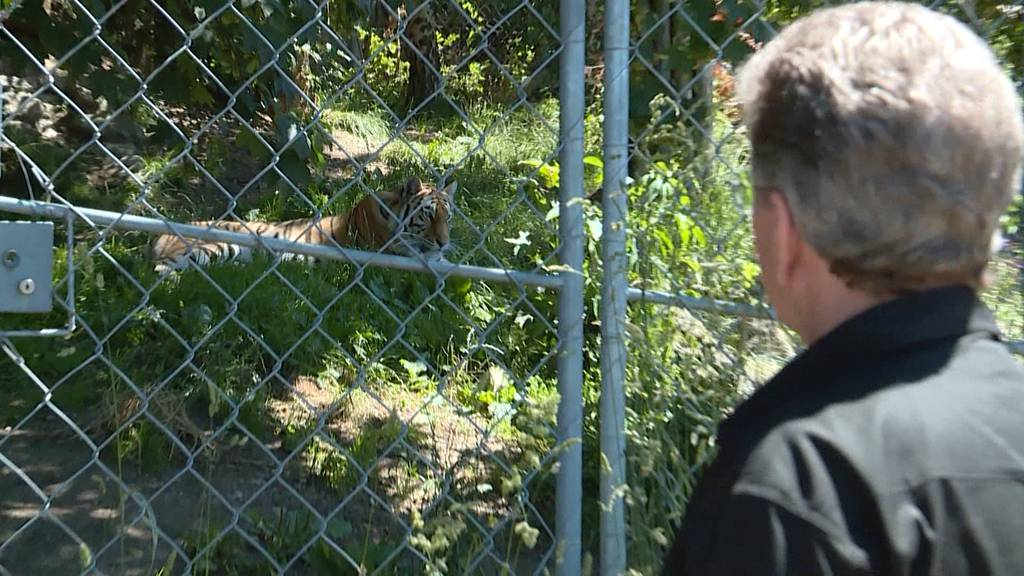Zoo-Arbeit mit Raubtieren: «Ein Restrisiko bleibt immer»