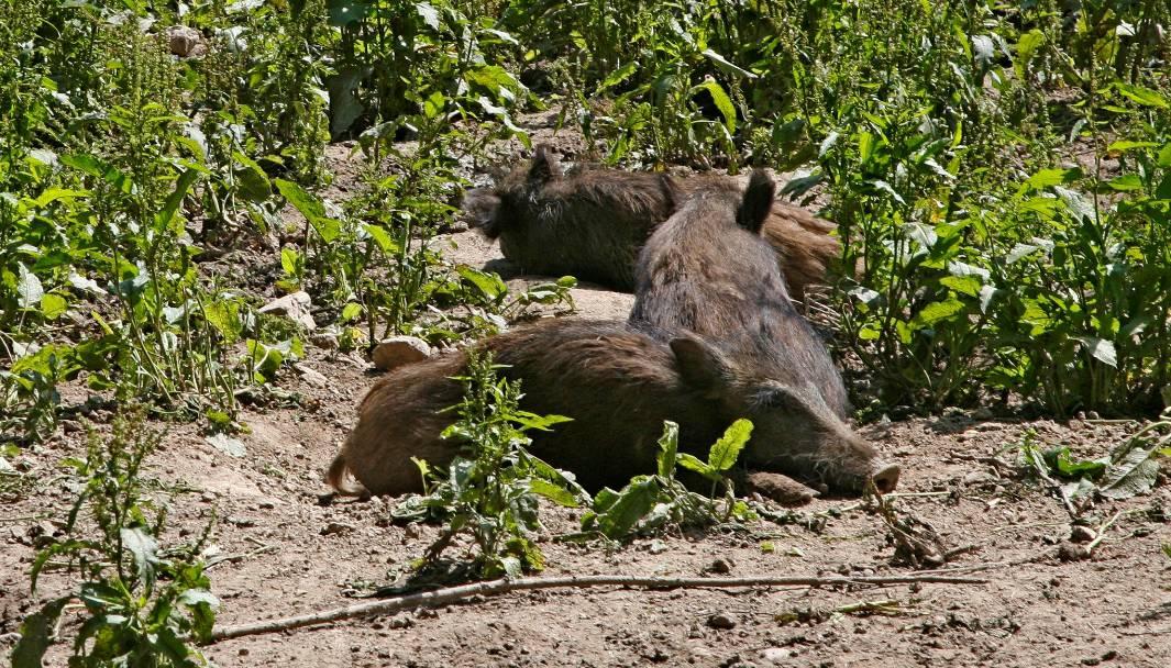 Wildschweinschäden