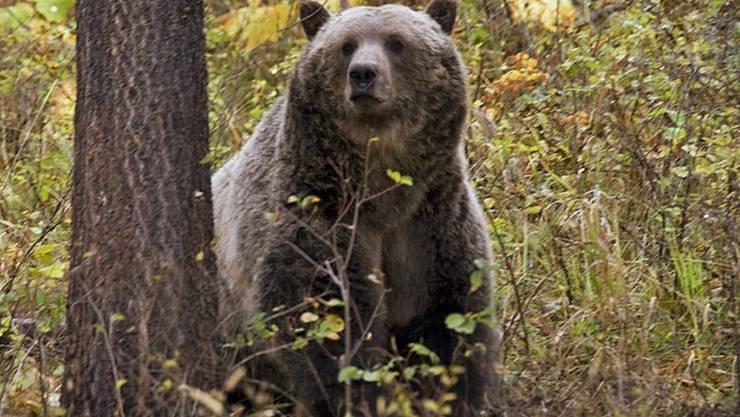 Der Grizzlybär steht im Yellowstone-Nationalpark wieder unter Schutz.