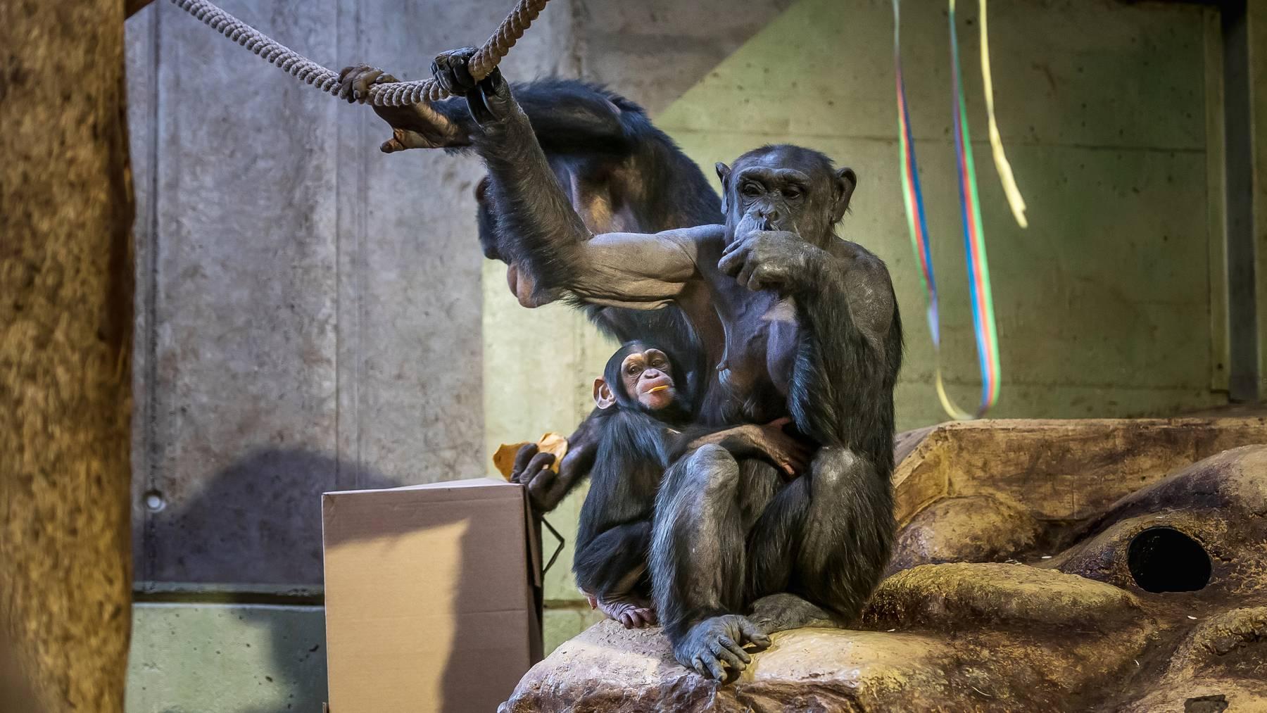 Auch Schimpansen können sich mit dem Coronavirus anstecken.