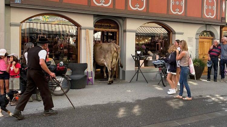 Im Shoppingrausch: Kuh betritt Parfümerie