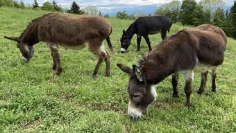 Daniel Quenet hält über 100 Tiere. Die grössten darunter sind die Esel. (Symbolbild)