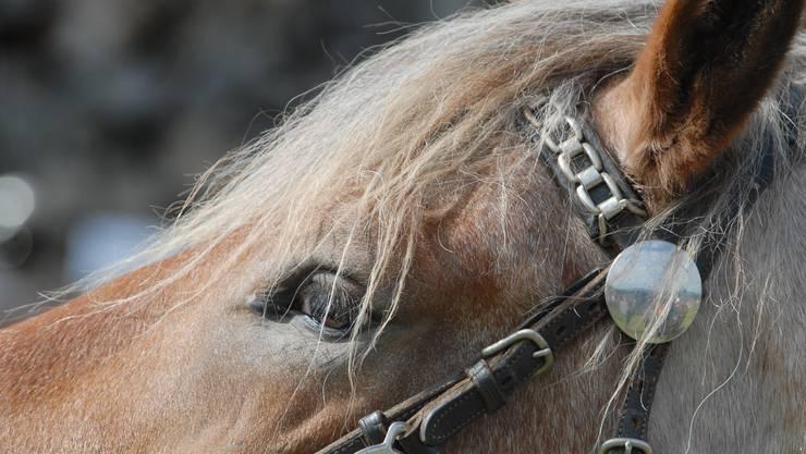 Seit einem guten Jahr lebte eine Oberwynentalerin von der Sozialhilfe – dennoch besass sie ein Pferd. (Symbolbild)