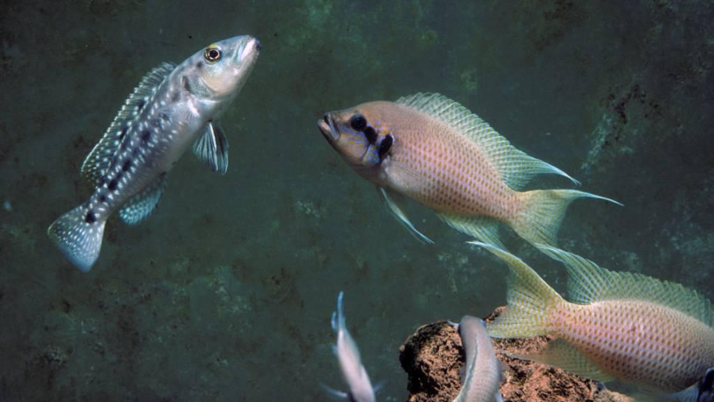 Ein Brutfisch greift einen Räuber an: Sehen Buntbarsch-Mütter während der Eiablage einen Feind, verändern sie die Zusammensetzung ihrer Eier so, dass ihr Nachwuchs die Fähigkeit erhält, bei Gefahr schnell die Flucht ergreifen zu können. (Pressebild)