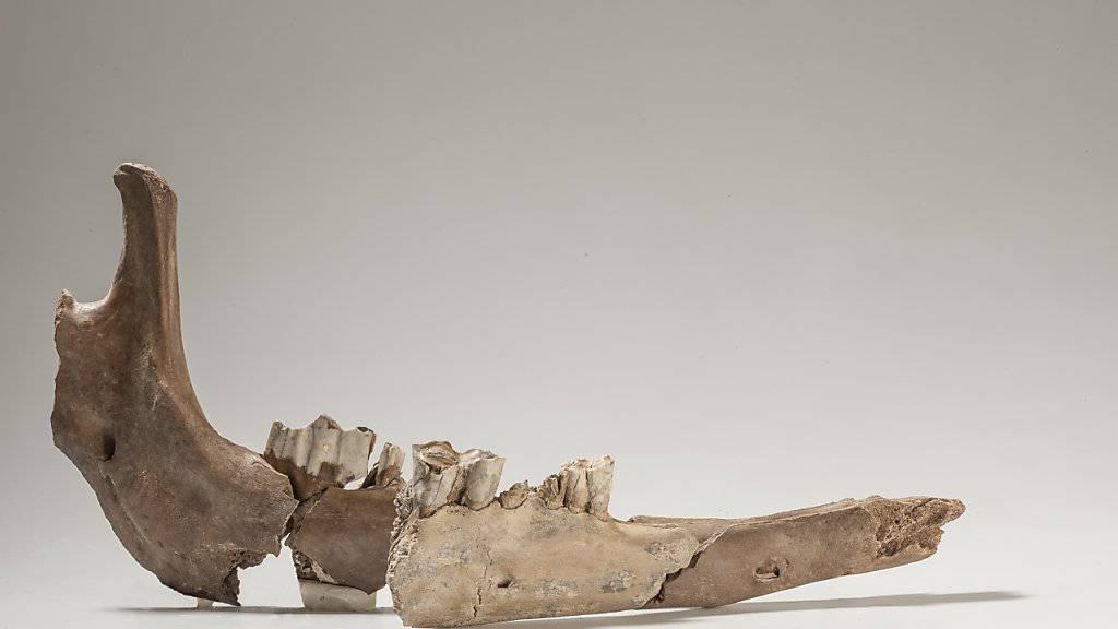 Die Teile des Kamelunterkiefers - gefunden mit rund 80 Jahren Abstand - passen aneinander. Das hellere Stück in der Mitte stammt aus der Altgrabung.