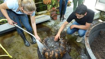 Die Titanwurz-Knolle wird ausgegraben