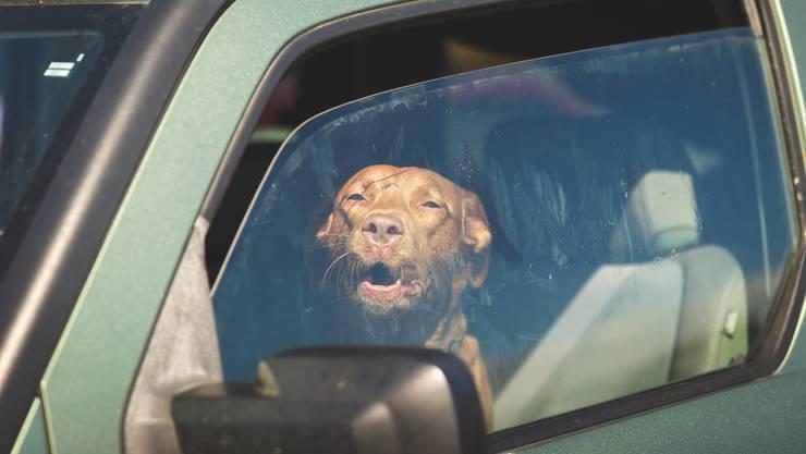 Werden Hunde bei Hitze im Auto zurückgelassen, kann das für sie lebensgefährlich werden. (Symbolbild)