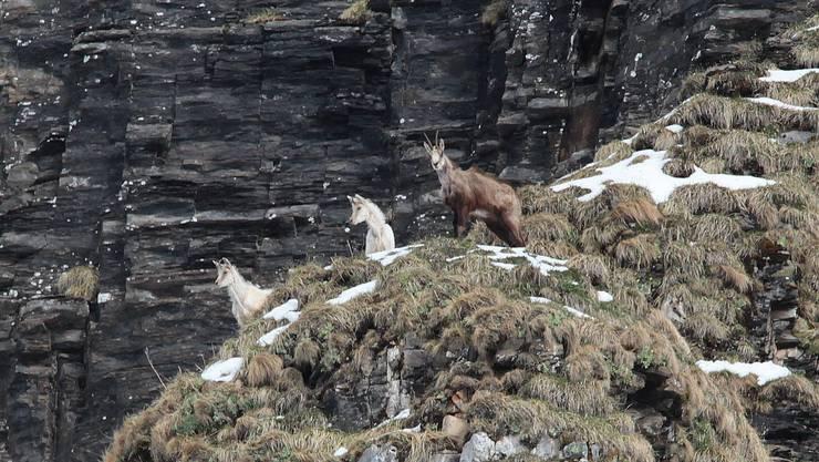 Sensation im Tierreich: In einem Urner Tal haben der Tierfilmer Tony Gnos und sein Sohn Fabian zwei Albino-Gämsen vor die Linse bekommen.