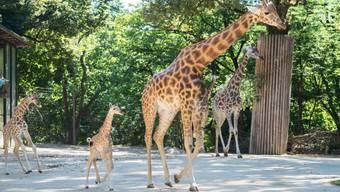 Zum zweiten Mal in diesem Jahr hat es im Zoo Basel Nachwuchs bei den Kordofan-Giraffen gegeben. Osei, den Kianga letzte Woche zur Welt gebracht hat, ist ausserordentlich gross und kräftig.