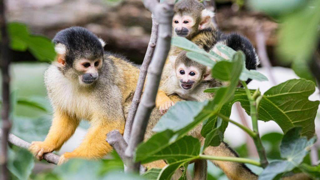 Im Zoo Basel sind seit dem 10. Mai acht kleine Totenkopfäffchen zur Welt gekommen.