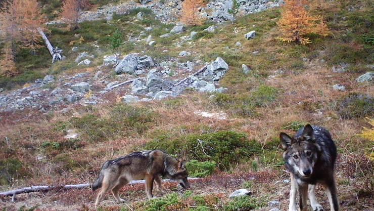 Gibt es gemäss Walliser Regierung nicht mehr: Zwei Wölfe des Augstbord-Rudels in einem Foto vom November 2016. (Archiv)