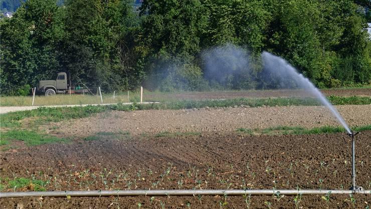 Zunehmend eine Notwendigkeit: Bewässerung der Salat- und Gemüsekulturen.
