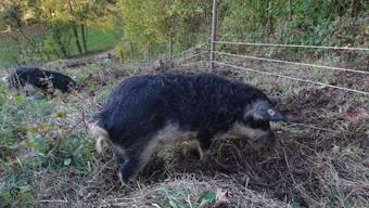 Die drei Wollschweine lebten in einem Gehege am Waldrand in Lostorf. Da der Akku des Elektrozauns leer war, konnten sie durch den Wald spazieren.