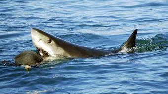 Hai im Kampf mit Angelleine verletzt Schwimmer (Symbolbild)